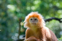 The Javan Lutung (Trachypithecus Auratus) Closeup Image,  Also Known As The Ebony Lutung And Javan Langur, Is An Old World Monkey From The Colobinae Subfamily