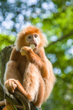 The Javan Lutung (Trachypithecus Auratus) Is Eating Fruit,  Also Known As The Ebony Lutung And Javan Langur, Is An Old World Monkey From The Colobinae Subfamily