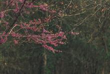 Pink Spring Redbud Flower Blossoms On Tree Branch