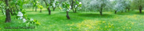 Fototapeta blooming apple trees in spring. panoramic landscape photo of apple orchard obraz