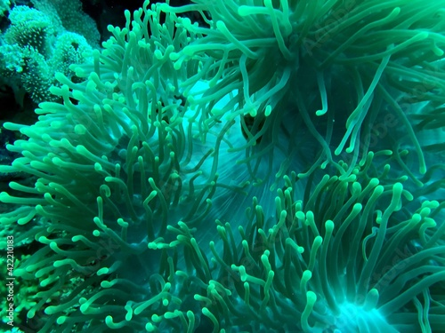 Canvas sea anemone in the reef