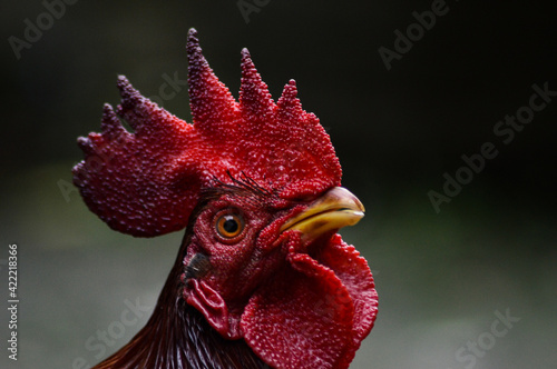 Fényképezés portrait of a rooster