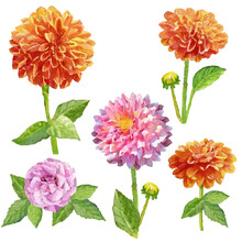 Watercolor Flower Dahlia Isolated Set