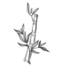 Bamboo Plant By Hand Drawing Sketch. Floral Tattoo Highly Detailed In Line Art Style. Black And White Clip Art Isolated On White Background. Antique Vintage Engraving Illustration.