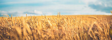 Beautiful Field Of Ripe Wheat Of Golden Color Against Blurred Background Of Blue Sky. Natural Panoramic View Of Tranquil Peaceful Rural Landscape.
