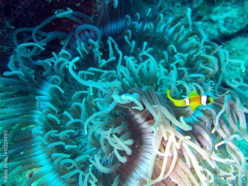Foto anemone and clownfish