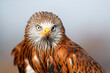 Portrait of a Red Kite (Milvus milvus) with the sky as a background