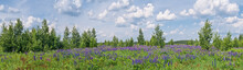 Large-leaved Lupine (Lupinus Polyphyllus) In Meadow, Moscow Region, Russia
