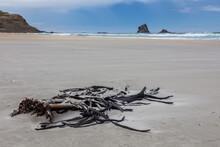 Branch Of Kelp Washed Ashore At Sandfly Bay South Island New Zealand