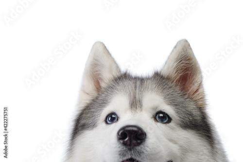 Siberian Husky with blue eyes Fototapete