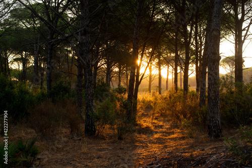 The sunset rays filter through the tops of the pines (Pinus pinea) creating a beautiful play of golden lights. (Huelva, España)