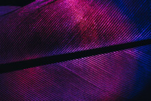 Close Up Bird Feather Neon Colored Light. Beautiful Background Pattern Texture For Design. Macro Photography View.