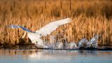 Łabędź, ptaki wodne, startujący łabędź, skrzydła, woda, krople wody, wiosna, słoneczna pogoda, trawy, trzciny, biały, ptak,