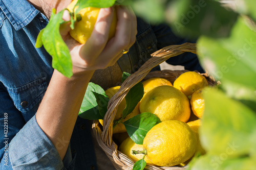 Obraz Smiling young man farmer harvesting, picking lemons in the orchard - fototapety do salonu