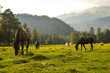 canvas print picture - horses in the meadow