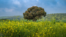 Lone Coral Gum Tree, Native To Australia, And Grown In Israel For Honey Production, Int The Field Of Yellow Mustard Flowers; Lakhish Area, South-central Israel