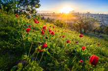 Beautiful Sunburst Over The Old City Of Jerusalem, Temple Mount With Dome Of The Rock And Golden Gate; View From The Mount Of Olives With Calanit - Red Anemone Flowers, National Flower Of Israel