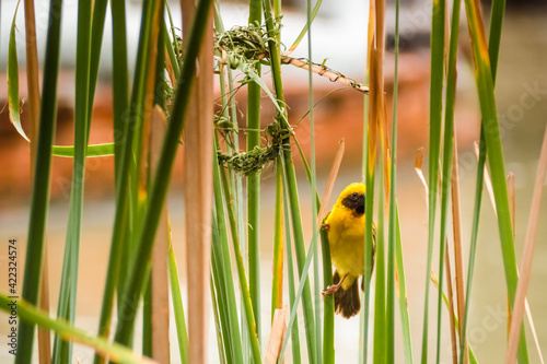 Fotografie, Obraz Asian Golden Weaver perching on grass stem in paddy field
