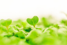 Heart Shaped Green Leaf. Broccoli Sprouts, Organic Micro Greens.