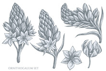 Vector Set Of Hand Drawn Pastel Ornithogalum
