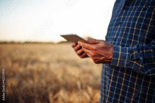 Fototapeta Tablet in the hands of a farmer at the golden wheat field. Spikelets of ripe grains on summer sunset. Man checks the progress of new harvest and examines statistics. New agricultural season concept. obraz