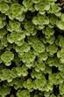 canvas print picture - Gruene Bodendeckerpflanzen