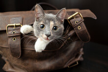 Charming Little Cat Climbed Into A Leather Briefcase And Playfully Peeks Out Of It, Against A Blurred Background.