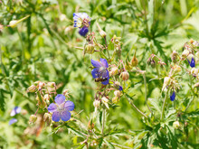 Clusters Of Blue And Violet Flowers And Deeply-lobed Leaves With Long Pointed Teeth Of Geranium Pratense Or Meadow Cranesbill