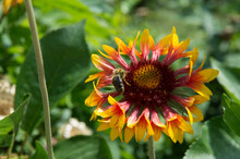 Close-up: A Bee Collecting Honey Dew From Gailardia Blanket Flowers With Red Orange And Yellow Petals