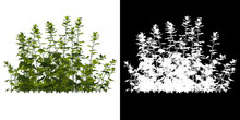 Left View Of Tree (Aconitum Sinomontanum) Png With Alpha Channel To Cutout 3D Rendering