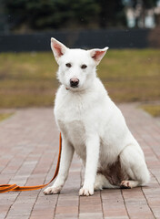 white mongrel dog on a leash in the park
