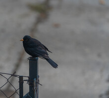 Black Bird Perched On A Fence Post