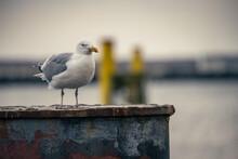 Möwe Im Hafen Auf Einer Dalbe Sitzend
