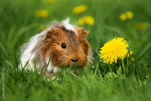 Fototapeta Longhaired guinea pig sitting in the grass in summer  obraz