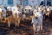 Cows On The Farm..