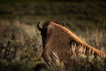 USA, Wyoming, Yellowstone National Park. Bison Resting At Sunset.