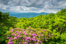 Rhododendron Blooms And Scenic Views Of The Blue Ridge Mountains From The Craggy Gardens, Blue Ridge Parkway, Asheville, North Carolina.