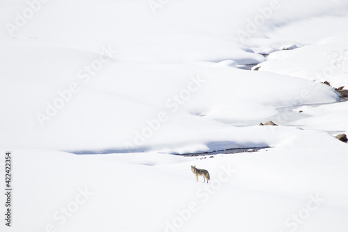 Yellowstone National Park, coyote standing in a snowy landscape. Fototapet