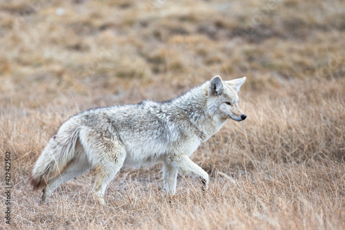 Photo Yellowstone National Park, portrait of a light colored coyote in the dry grass of spring