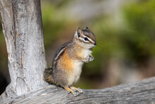 Yellowstone National Park, Portrait Of A Chipmunk.