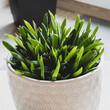Młody aloes aloe vera rośnie w domu w ceramicznej doniczce.