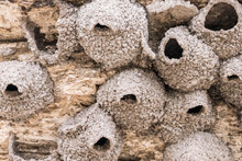 Yellowstone National Park, Wyoming, USA. In The Rear Of Soda Butte Mound In The Lamar Valley Are A Number Of Mud Nests Made By Cliff Swallows.