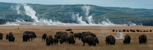 USA, Wyoming. Panoramic Image Of Bison Herd With Steaming Geysers, Yellowstone National Park.
