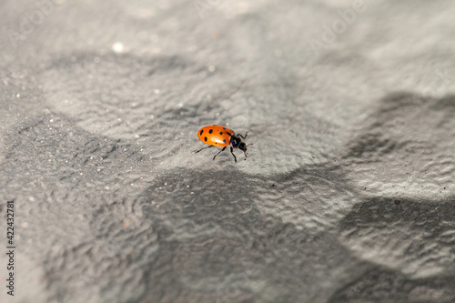 Fototapeta Lone Convergent lady beetle also called the ladybug Hippodamia convergens