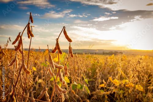 Fototapeta Soybean pods on the plantation at sunset