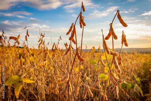 Fotografie, Obraz Soybean pods on the plantation at sunset