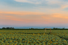 Big Bright Yellow Sunflowers. The Abundance Of Natural Products