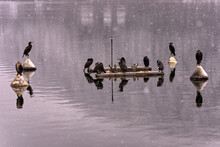 A Group Of Cormorants Sit On Buoys And Pipes On The Lake