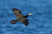Great Cormorant (Phalacrocorax Carbo)