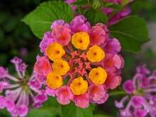 Red Flowers - Common Lantana Flowers With Blurry Background